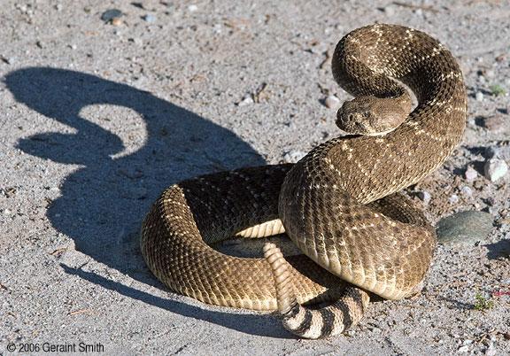 rattlesnake 6962 10 Ular Paling Berbahaya di Dunia
