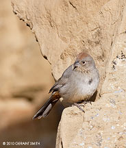 Canyon Towhee in Chaco Canyon