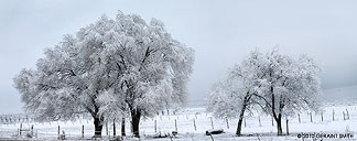 snow covered trees in taos, nm